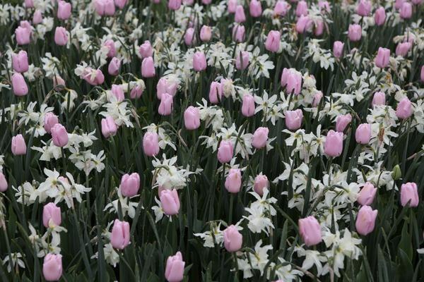 10 Прикладів посадки тюльпанів з іншими рослинами
