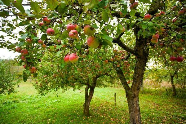6 Основних причин хвороб плодових дерев