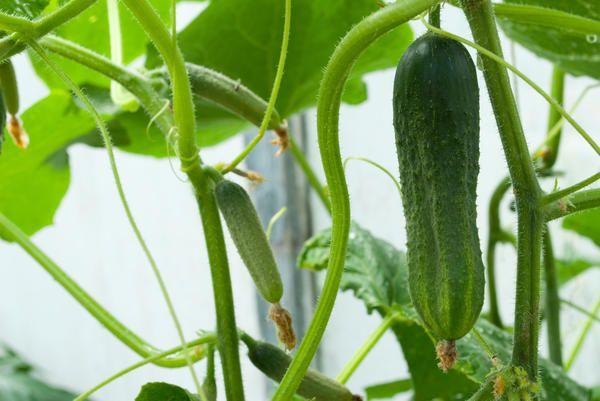 6 Овочів, які ви можете виростити на підвіконні