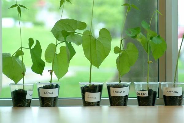 Найвигідніше вирощувати ранньостиглі сорти спаржевої кущовий квасолі