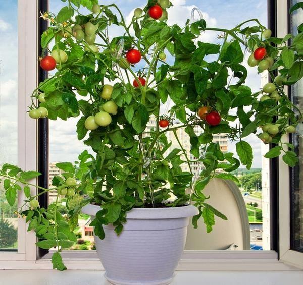 Виростити помідори в домашніх умовах може будь-яка людина