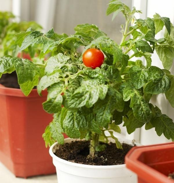 Догляд за домашніми помідорами має мало відмінностей від догляду за ними на дачі або присадибній ділянці