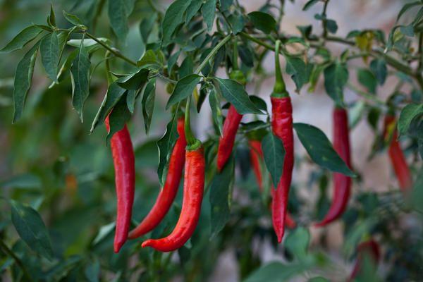 Найкраще підходять насіння ранньостиглих самозапильних сортів і гібридів