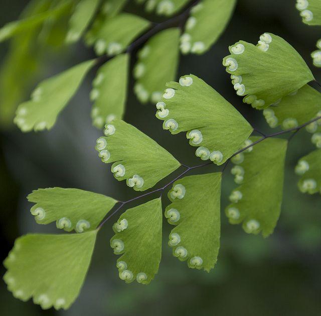 Папороть адіантум - поетично красива рослина