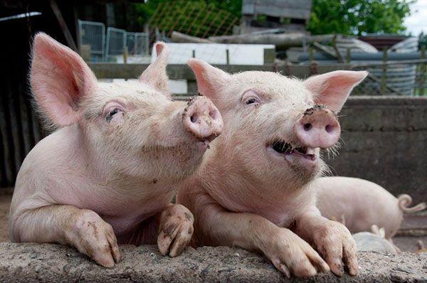 Африканська чума і інші хвороби свиней