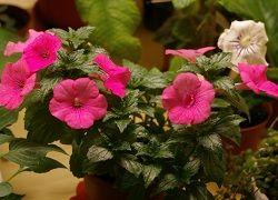 квітка ахименес
