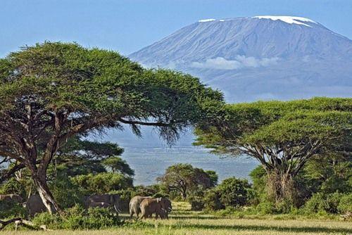 Акація зонтична зустрічається в африканських саванах