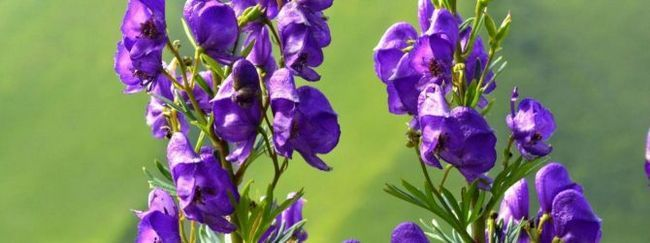 Аконіт (борець: опис, розмноження, догляд, посадка, застосування в саду, фото, сорти і види