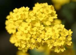 Алиссум скельний - сонячна квітка