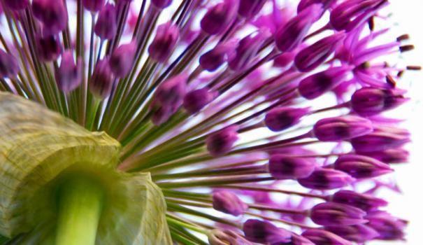 Алліум, або декоративний лук (Allium)