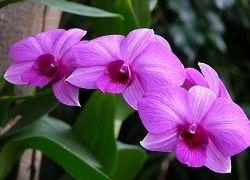 цвітіння орхідеї