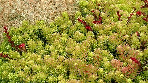квітуча галявина з грунтопокривних рослин