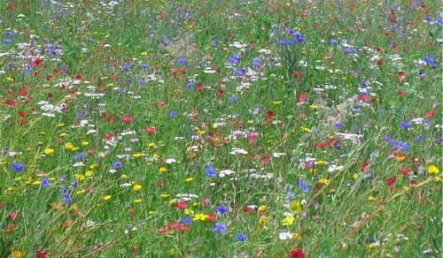 мавританський газон з польовими квітами