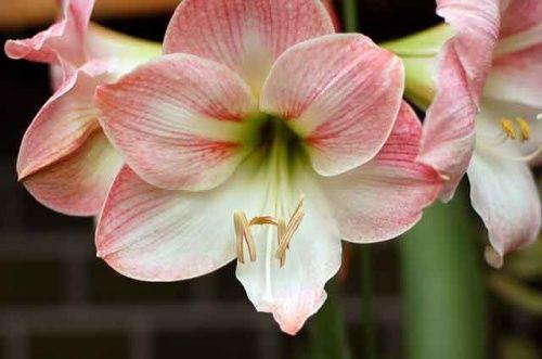 Амариліс - прекрасний цибулинних квітка