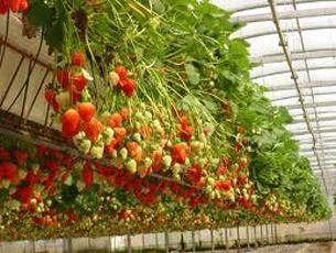 Ампельна полуниця: особливості виду