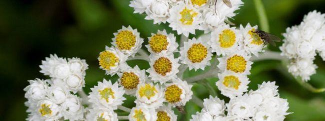 Анафаліс: опис, розмноження, догляд, посадка, застосування в саду, фото, сорти і види