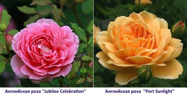 Англійська троянда Port Sunlight