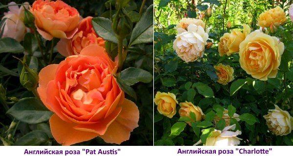 Англійська троянда Charlotte - фото