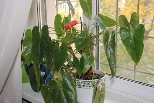 Антуріум - хвороби рослини і їх лікування