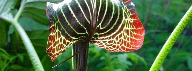 Аріземи: опис, розмноження, догляд, посадка, застосування в саду, фото, сорти і види