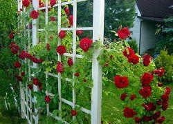 Арки і шпалери для в`юнких троянд