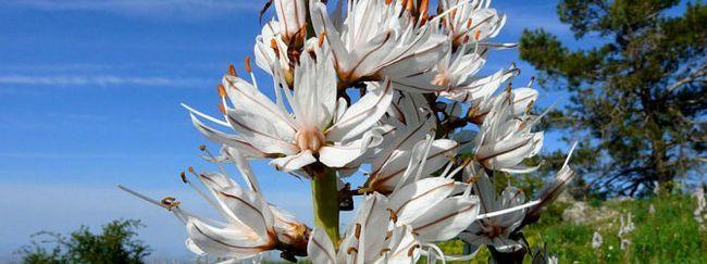 Асфодель: опис, розмноження, догляд, посадка, застосування в саду, фото, сорти і види