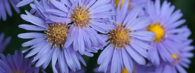 Астра багаторічна: опис, розмноження, догляд, посадка, застосування в саду, фото, сорти і види