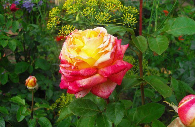 Айстри - як садити, вирощувати і доглядати на відкритому грунті