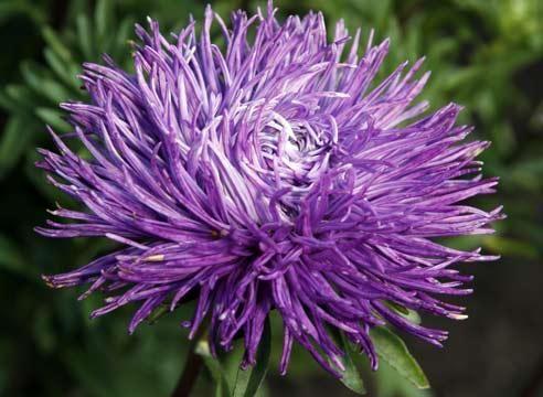 Астра, сорт Baby violett