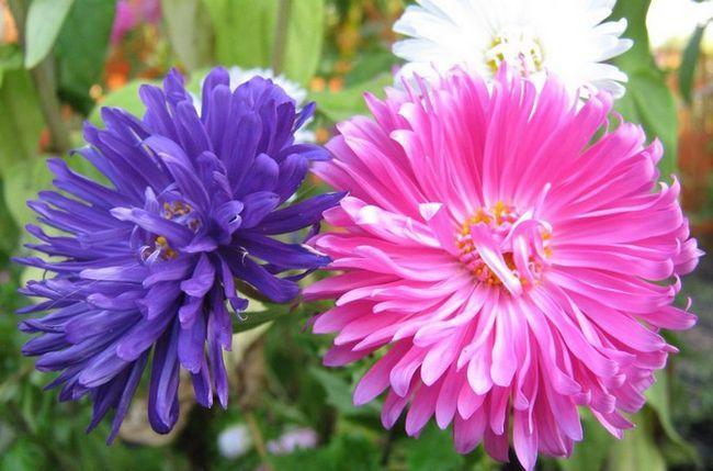 Квітка астра. Посадка і вирощування. Догляд за айстрами в саду