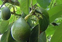 авокадо корисні властивості