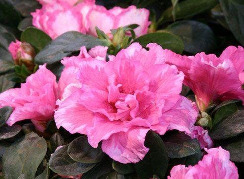 Як доглядати за квіткою азалія в квартирі?