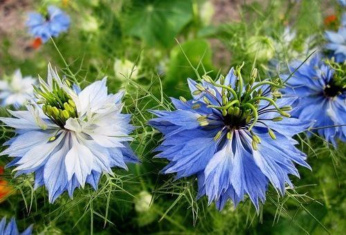 Такий загадковий квітка простріл сон трава