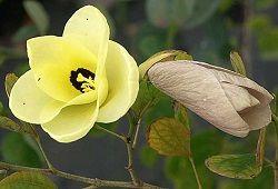 Баухинія - яскраве орхідейні дерево з тропіків