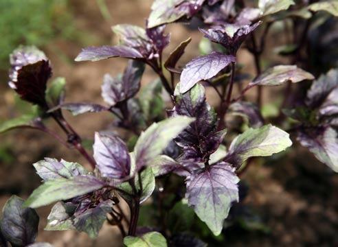 Базилік, Ocimum basilicum