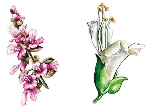 Базилік, суцвіття, окремий квітка