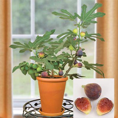 Догляд за орхідеями фаленопсис в домашніх умовах