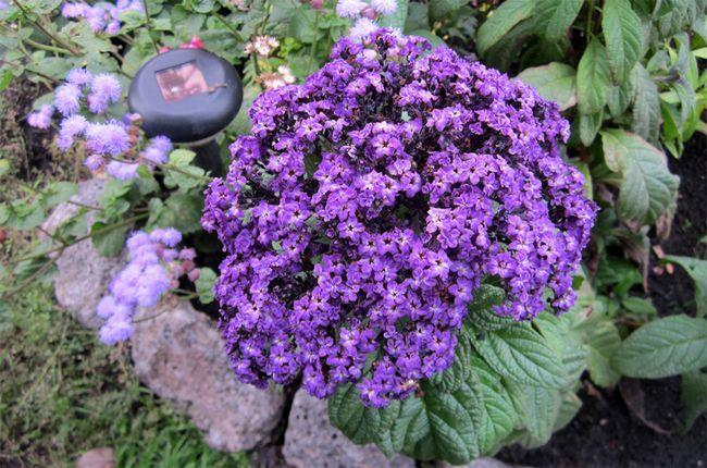 Дитя сонця - геліотроп: вирощування квітки в домашніх умовах
