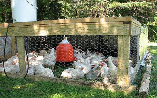 При правильному догляді ризик захворювання курчат значно знижується