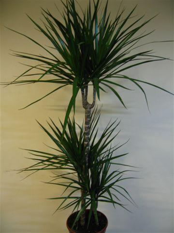 Декоративна рослина драцена кімнатна