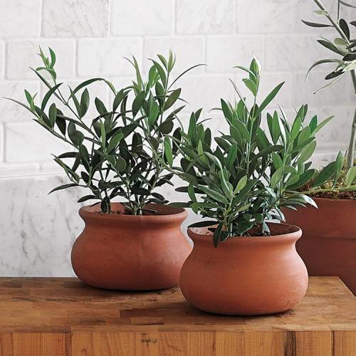 оливкове дерево догляд в домашніх умовах