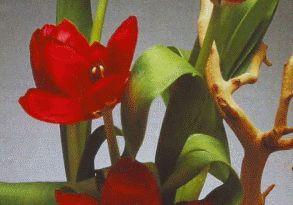 Композиції з тюльпанів