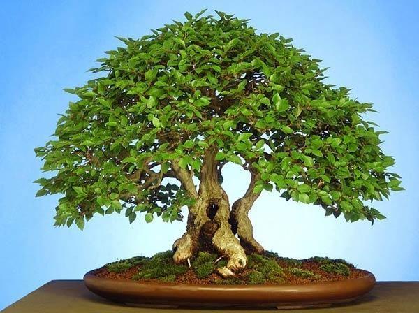 Бонсаї - карликова деревце