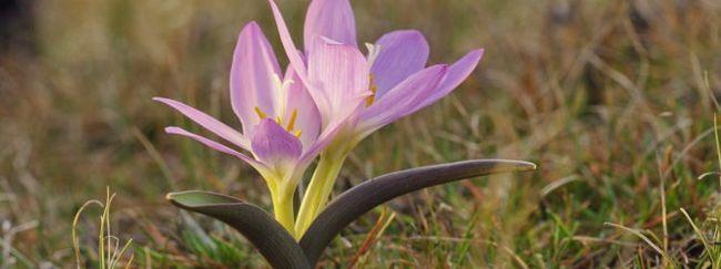 Брандушка: опис, розмноження, догляд, посадка, застосування в саду, фото, сорти і види