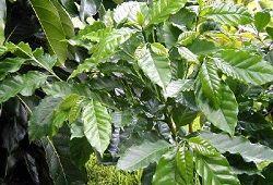 Бразильське кавове дерево: догляд без перестановки горщика