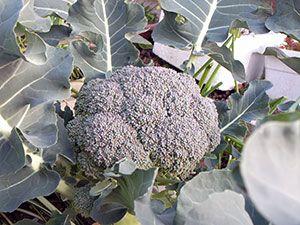 Брокколі - вирощування у відкритому грунті, посадка і догляд