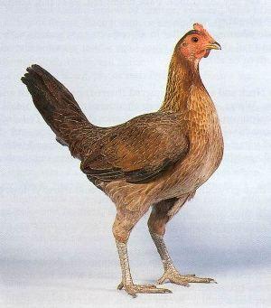 Староанглійський бійцівські кури: спортивна порода, яка не потребує особливої опіки