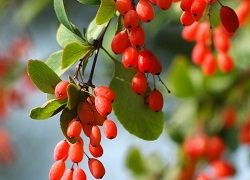 Ягоди, корінці і листя барбарису: корисні властивості