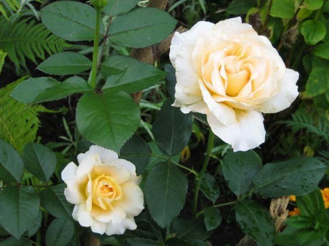 Чайна троянда: сорти і види