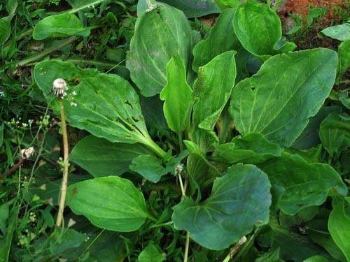 Чим особливо рослина подорожник ланцетолістний?